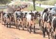 Festa da moagem: desfile de carros de bois na avenida será na quinta, 3 de maio