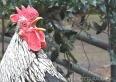 Criação de galinhas na cidade é motivo de reclamação de vizinhos