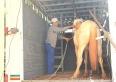 """PMU faz """"mais uma"""" operação de recolhimento de cavalos soltos em áreas públicas"""